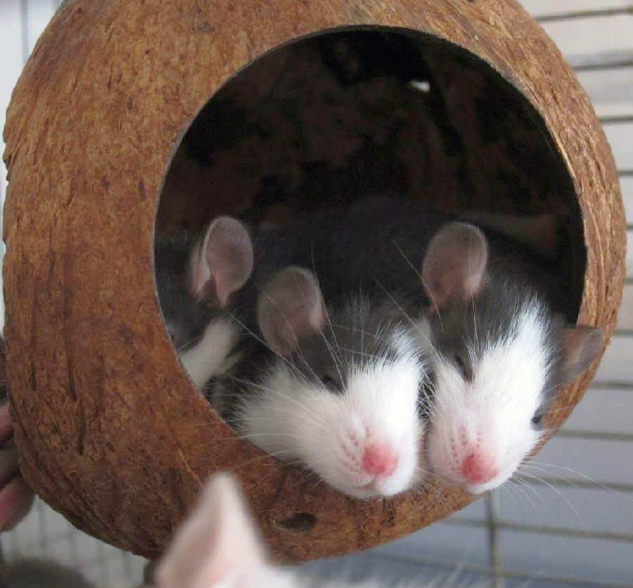 Husky Ratten im Kugelhaus