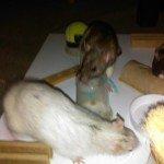 Meine Ratten und das Fummelbrett!