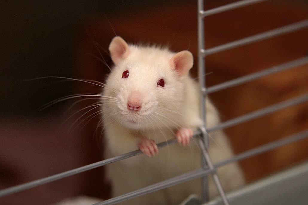 Rattenkäfig reinigen