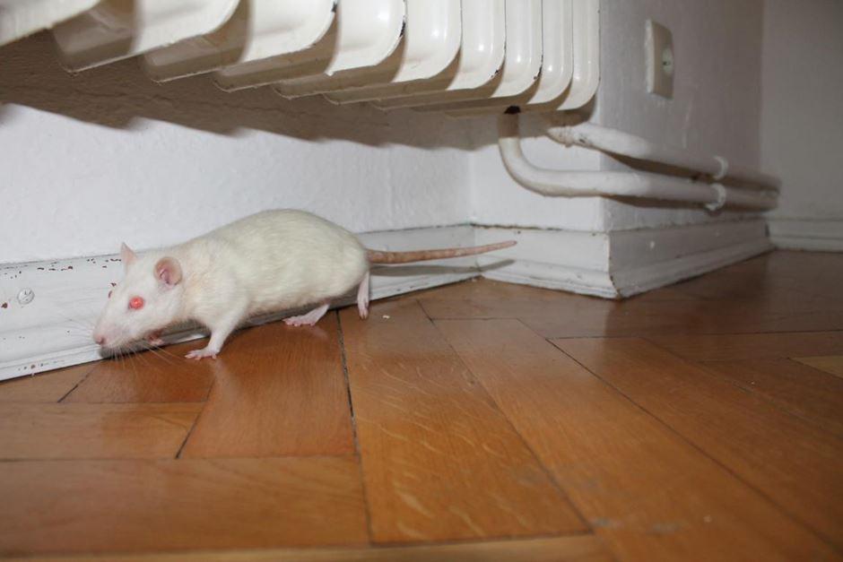 Albino Ratte