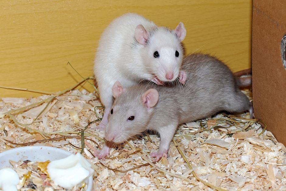 graue und weiße Ratte