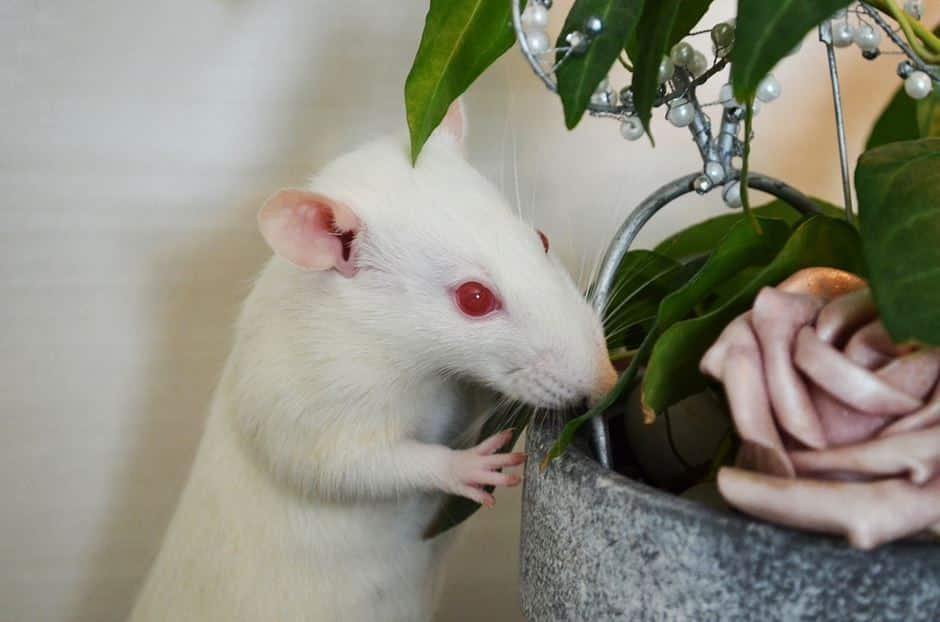 Gefahren für Ratten