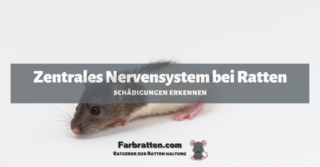 Ratten Zentrales Nervensystem - FB 2