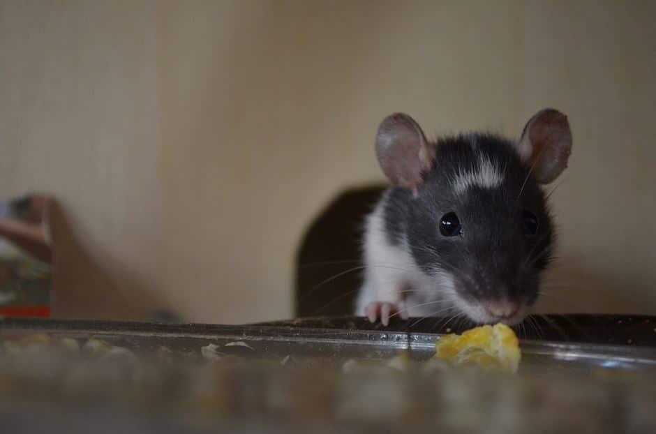 schwarz weiße junge Ratte