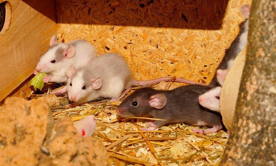 junges Ratten Rudel