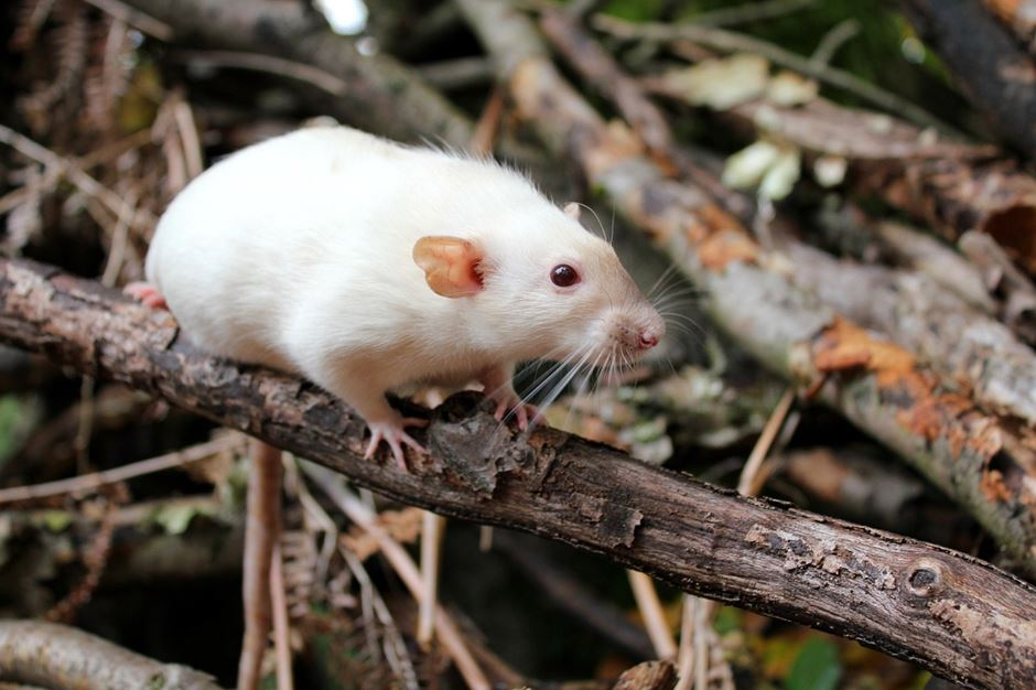 weiße Albino Ratte