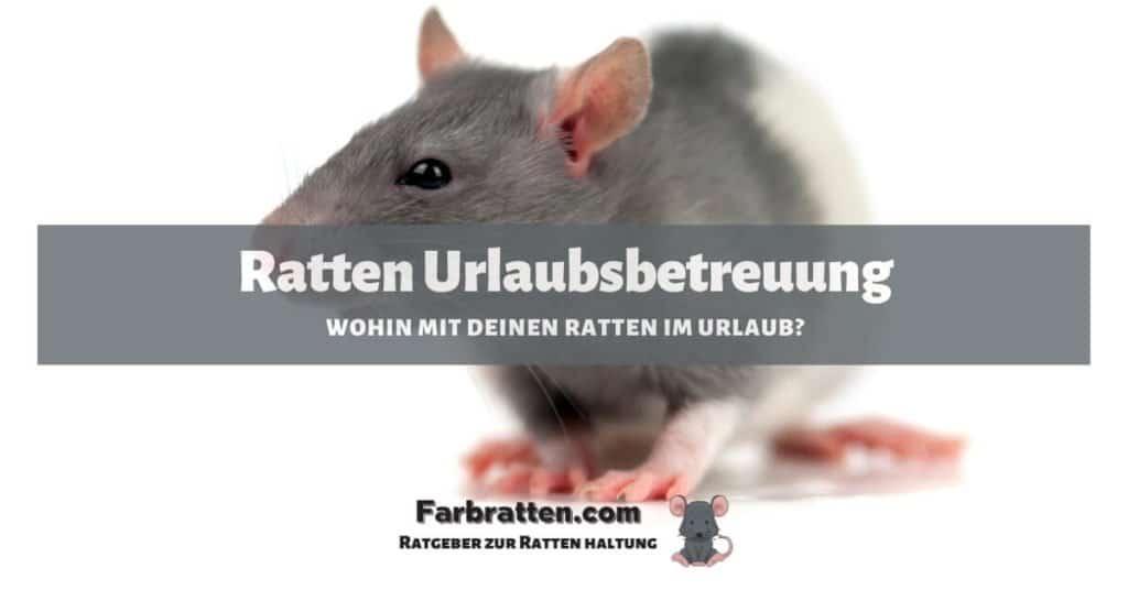 Ratten Urlaubsbetreuung - FB 2
