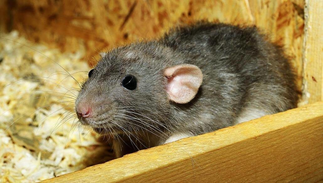 Ratten Eltern überzeugen