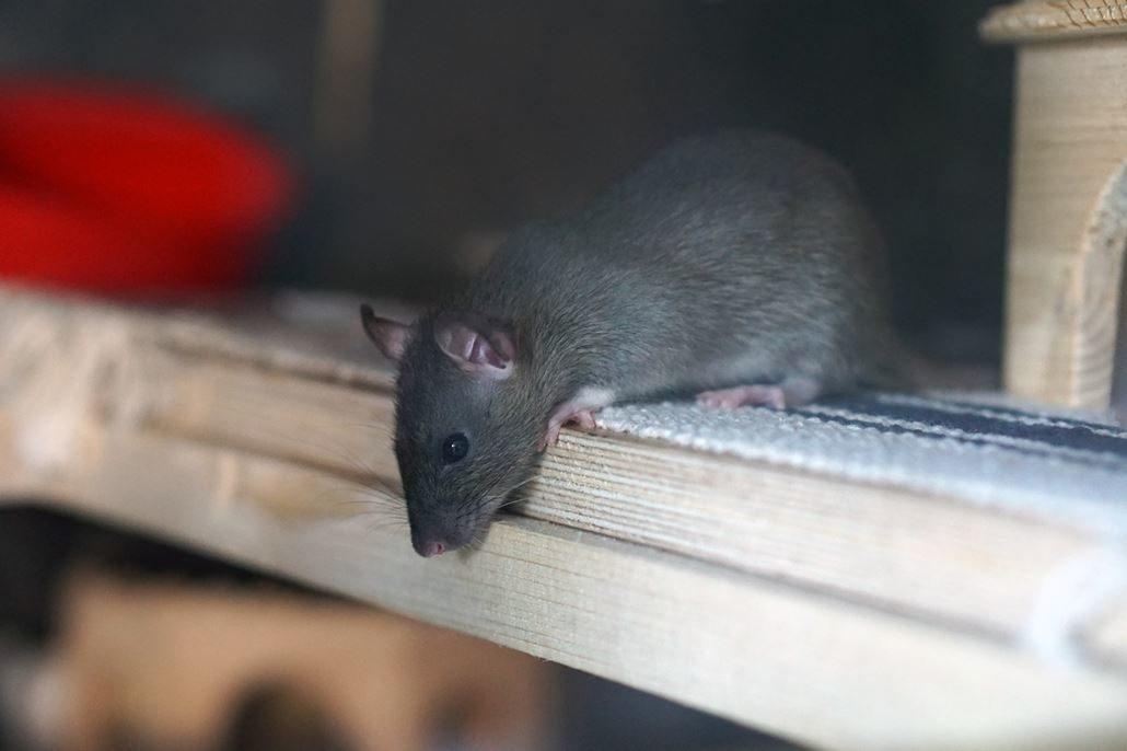 Ratten Freilauf