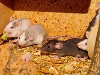 ratten-essen