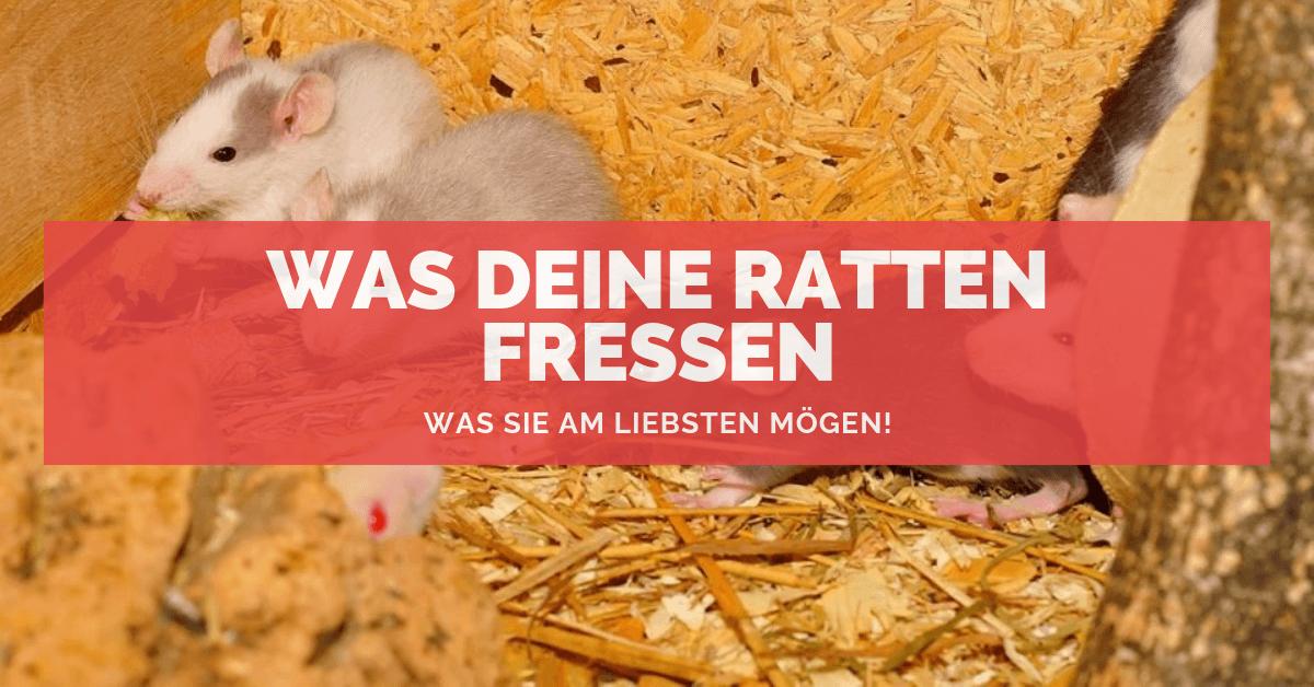 Fabelhaft Was Deine Ratten fressen 🐭 und was sie am liebsten mögen! @QG_31