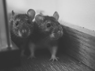 zwei-suesse-ratten-schwarz-weiss
