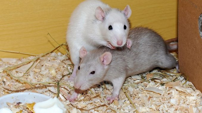 Ratten Verpaarung