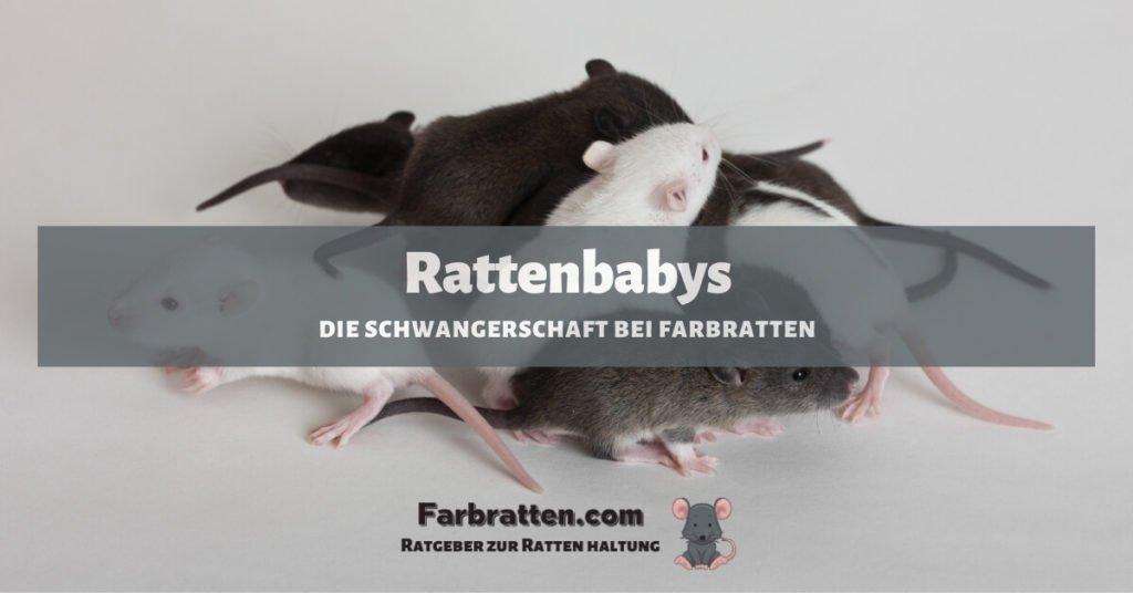 Schwangerschaft bei Farbratten - FB 2
