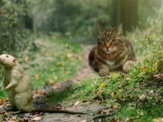 Farbratte Katze Haltung