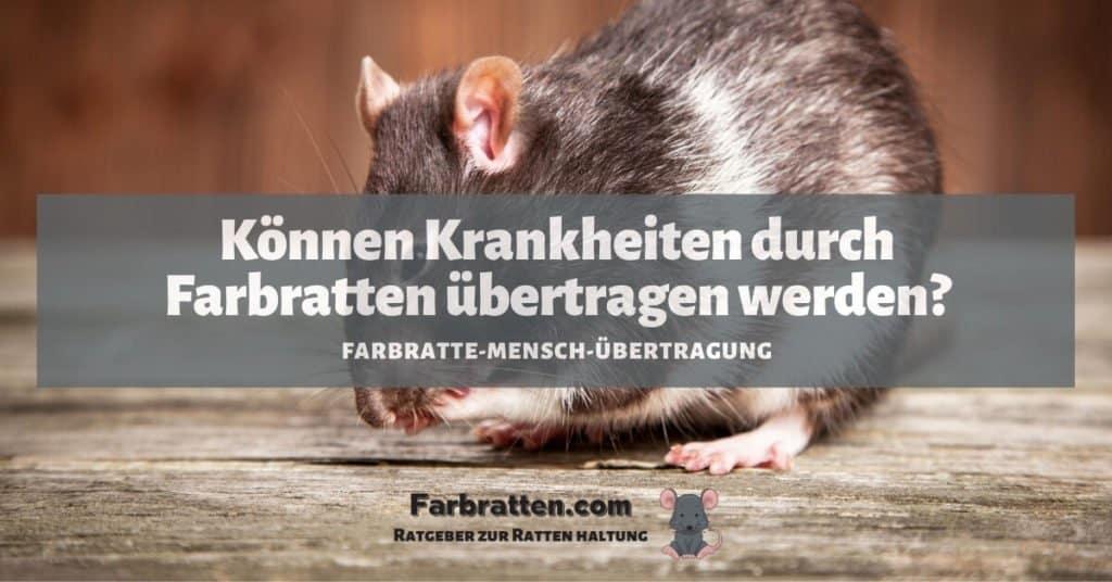 Farbratten Krankheiten übertragen - FB 2
