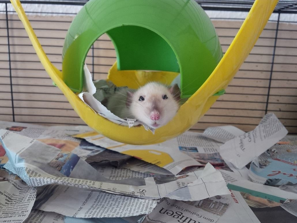 Alte Ratte Farbratte
