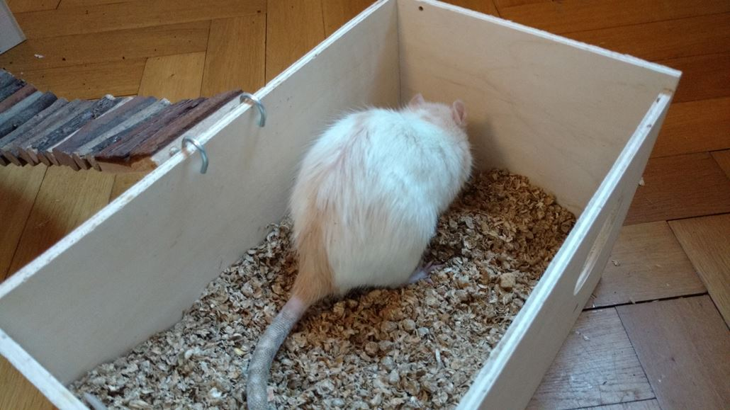 Dinkeleinstreu Buddelkiste Ratte