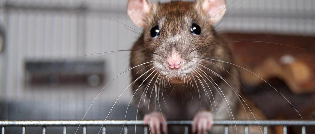 Nagervoliere Ratten