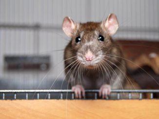 Nagervoliere Ratten