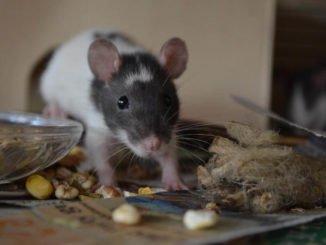 Ratten Futter selber mischen
