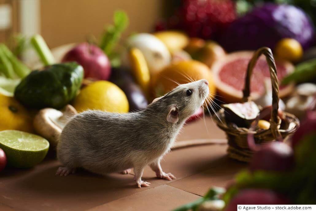 Außergewöhnlich Ratten Ernährung: 🐭 Wie Du deine Farbratten richtig ernähren kannst @CP_12