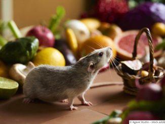 Ratten Ernährung