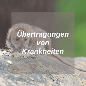 Übertragungen von Krankheiten bei Ratten