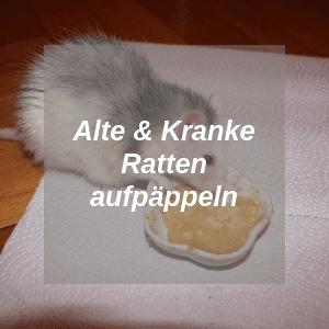 Alte und Kranke Ratten aufpäppeln