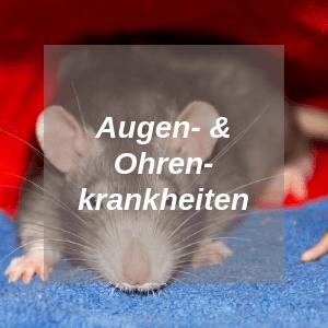 Augen und Ohren Krankheiten bei Ratten