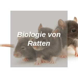 Biologie von Ratten
