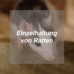 Einzelhaltung Ratten