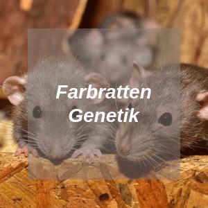 Farbratten Genetik