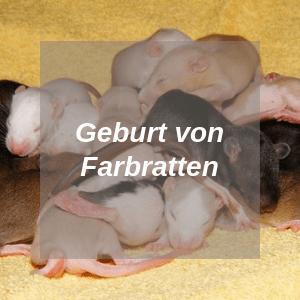 Geburt von Farbratten