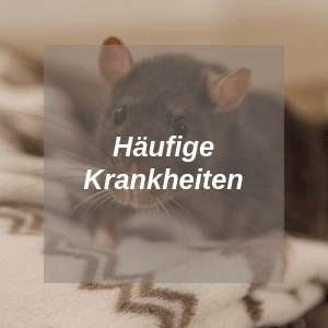 Häufige Krankheiten bei Ratten