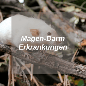 Magen Darm Erkrankungen bei Ratten