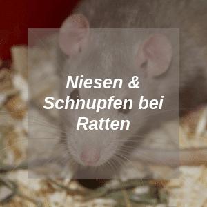 Niesen und Schnupfen bei Ratten
