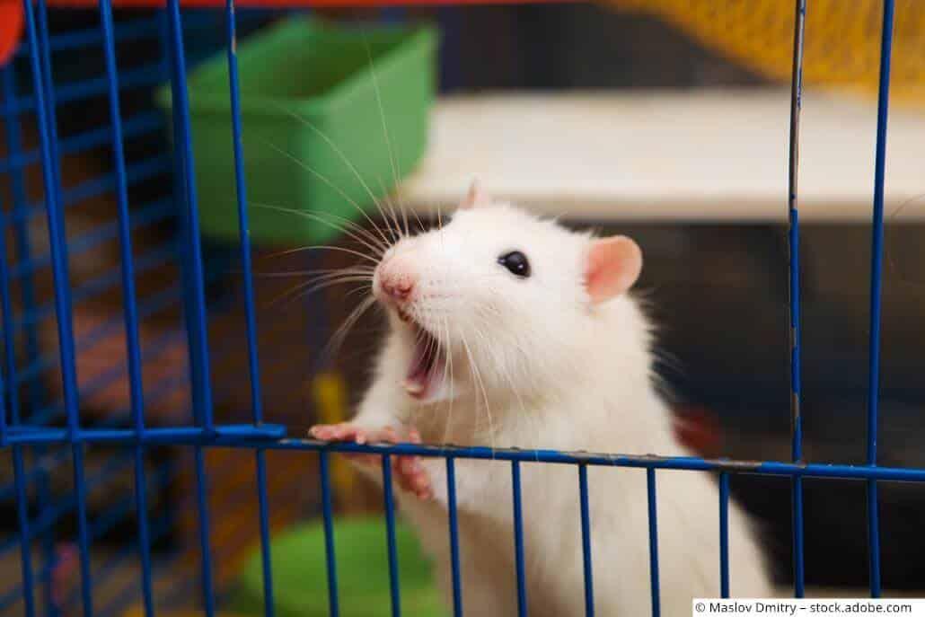 Ratte bissig beißt