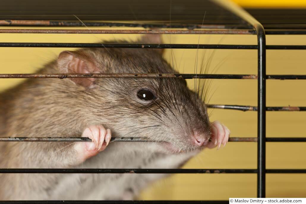 Ratte knappert Käfig gitter