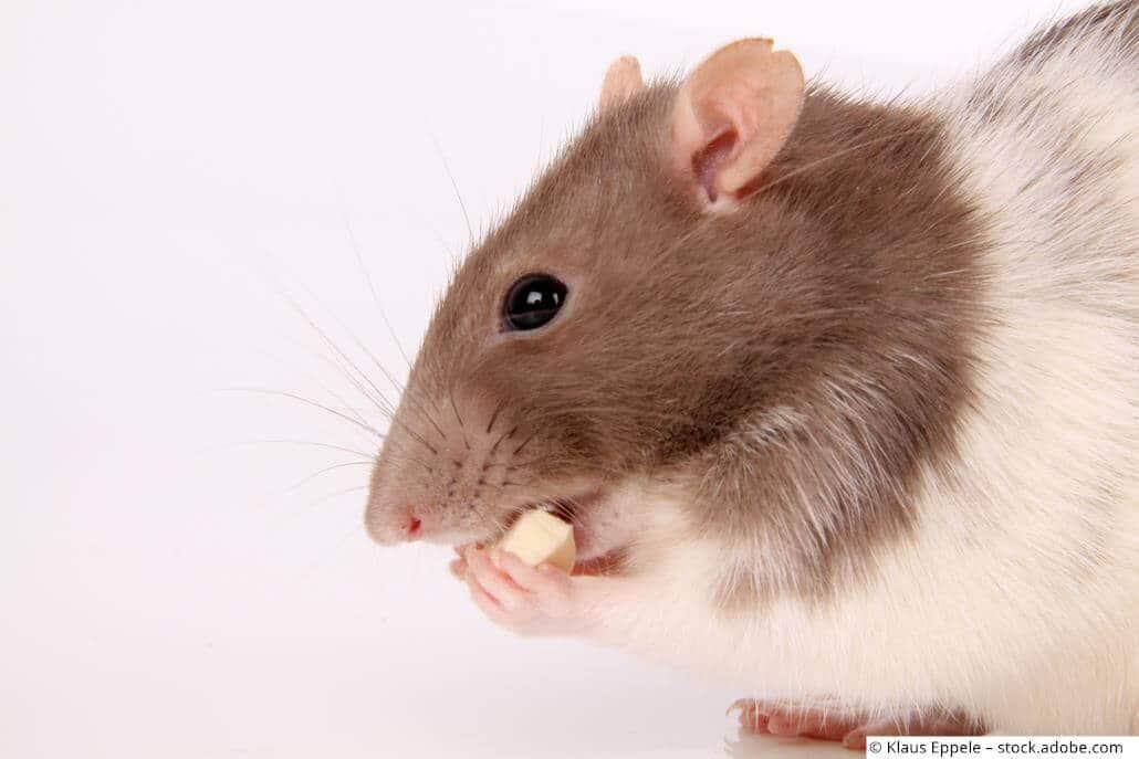 Ratte nagt Futter