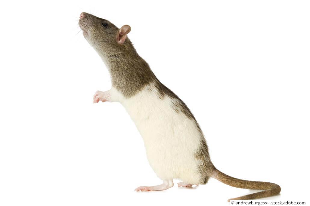 Ratte stehend männchen