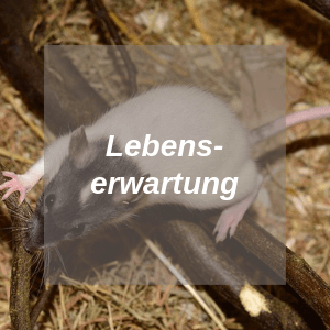 Ratten Lebenserwartung
