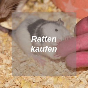 Ratten kaufen