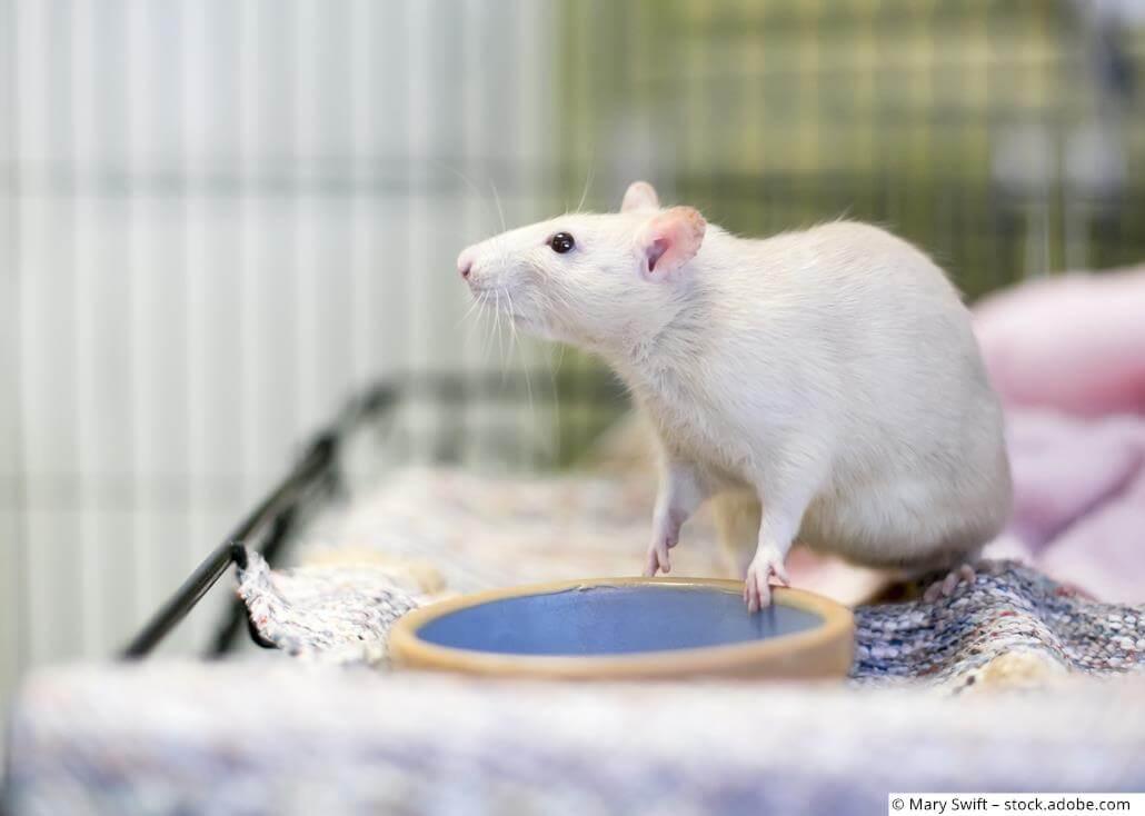 Rattenkäfig weiße Ratte