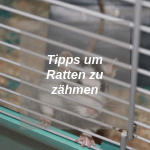 Tipps um Ratten zu zähmen
