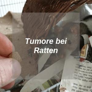 Tumore bei Ratten