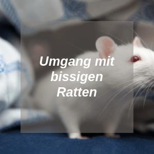 Bissige Ratten