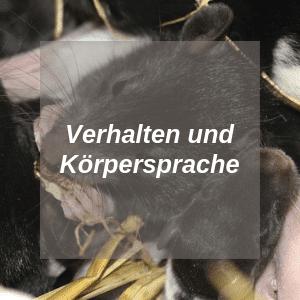 Verhalten und Körpersprache Ratten