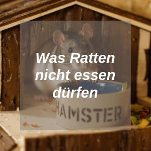 Was Ratten nicht essen dürfen