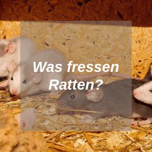 Was fressen Ratten